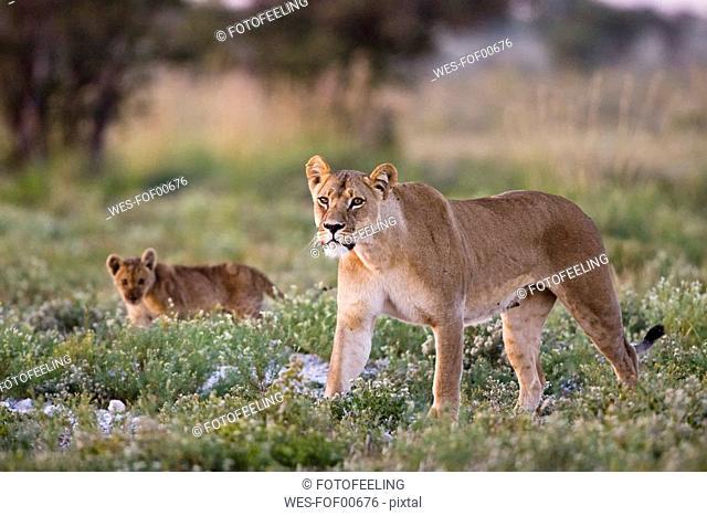 Africa, Botswana, Lioness Panthera leo and cub