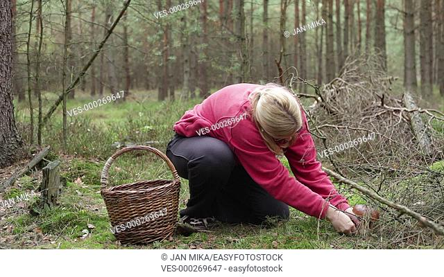 Happy woman picking and cleaning wild mushroom in the forest