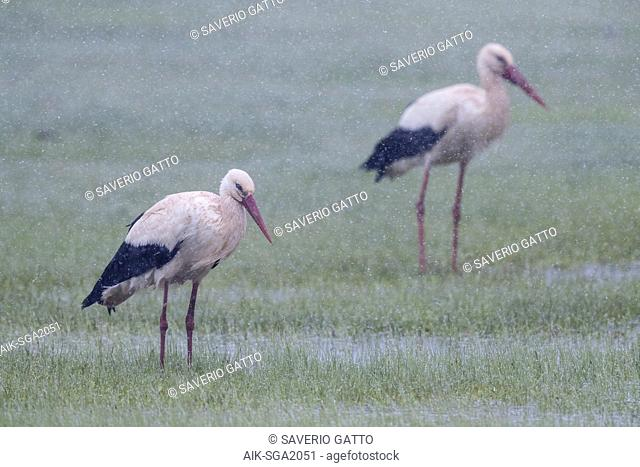 White Stork (Ciconia ciconia), couple under a heavy sleet