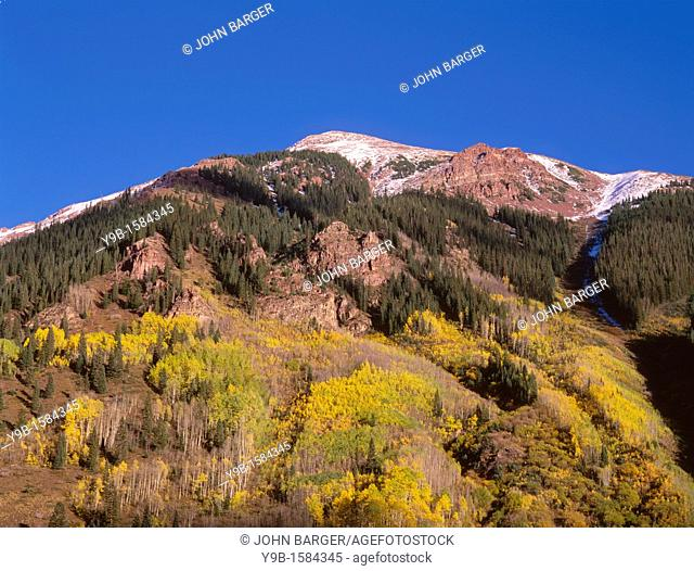Autumn colored quaking aspen Populus tremuloides and conifers descend from reddish ridge top in Maroon Creek Canyon, White River National Forest, Colorado, USA