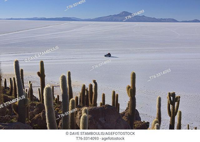 Giant cardon cacti (Echinopsis atacamensis) on Isla Incahuasi, Salar de Uyuni, Bolivia