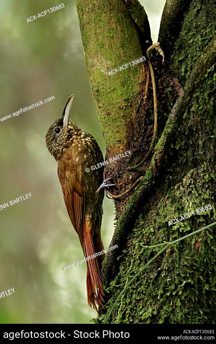 Spotted Woodcreeper (Xiphorhynchus erythropygius) perched on a branch in Guatemala in Central America