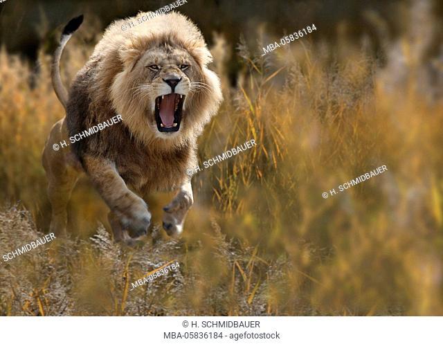Lion, Panthera leo, attacks