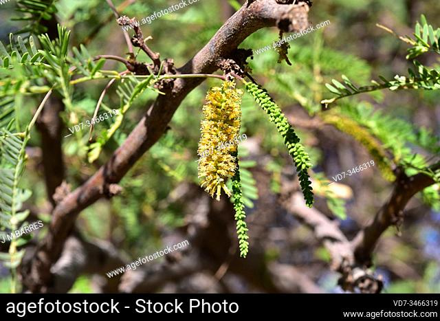 Algarrobo chileno or Chilean mesquite (Prosopis chilensis) is a deciduous tree native to northern and central Chile, Bolivia, Peru and northwestern Argentina
