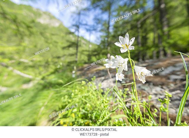 Paradisea liliastrum, Campiglia valley, Valle Soana, Gran Paradiso National Park, Piedmont, Province of Turin, Italian alps, Italy