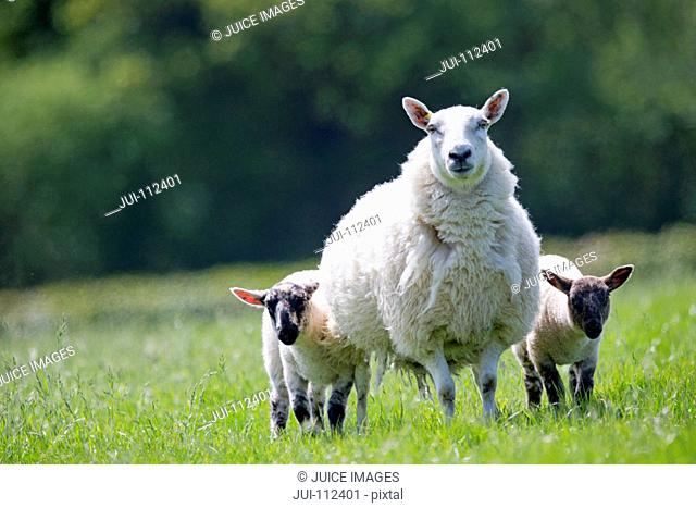 Portrait sheep and lambs in sunny green spring field