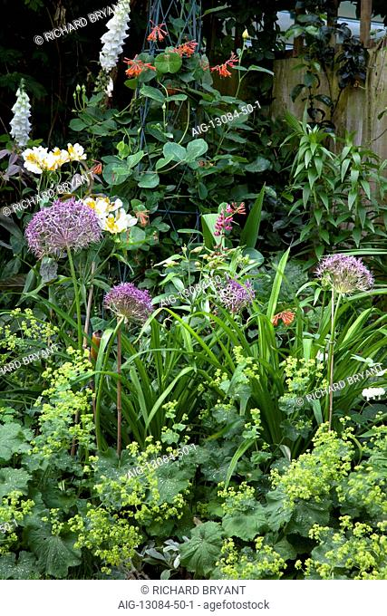 Suburban Garden. Detail of planting with Alchemilla Mollis, Agapanthus, orange honeysuckle and white foxgloves