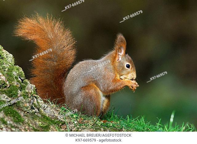 Red squirrel (Sciurus vulgaris). Germany