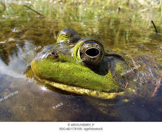 North American Bullfrog, La Mauricie national park, Quebec, Canada, Rana catesbeiana