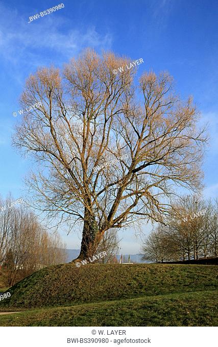 white poplar, silver-leaved poplar, abele (Populus alba), in winter, Germany