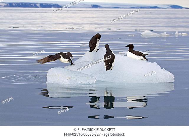 Brunnichs Guillemot Uria lomvia four adults, summer plumage, on ice floe, Spitzbergen, Svalbard, july