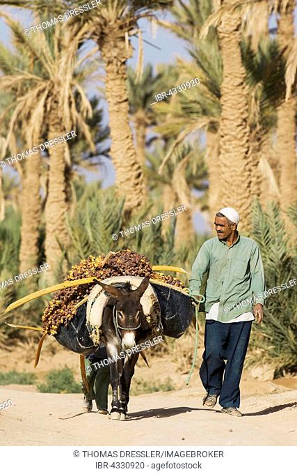 The dates carried on donkey, palmeries of Rissani in the Tafilalt, date palms (Phoenix dactylifera), Southeast Morocco, Marocco