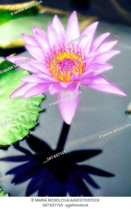 Waterlily and Shadow. Nymphaea hybrid. September 2006. Maryland, USA