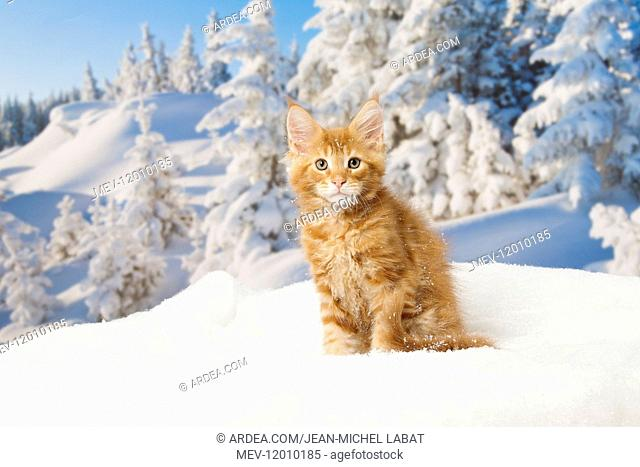Maine Coon kitten outdoors in winter