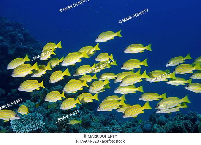 Medium shoal or school of blue striped snapper (Lutjanus kasmira), Naama Bay, off Sharm el-Sheikh, Sinai, Red Sea, Egypt, North Africa, Africa