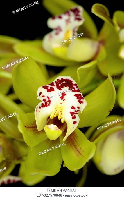 Beautiful orchid - phalaenopsis, orchidea