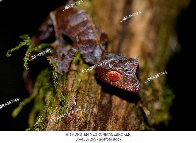 Baweng satanic leaf gecko (Uroplatus phantasticus), Rainforest, Ranomafana National Park, Southern Highlands, Madagascar