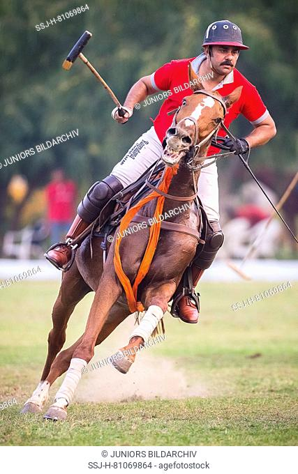 Polo Pony. Player in a polo match. Jaipur, India