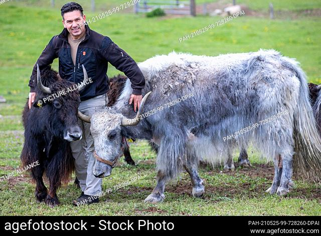 21 May 2021, Mecklenburg-Western Pomerania, Sternberg: Operator Jens Kohlhaus stands with two yaks in an outdoor enclosure at the Sternberger Burg camel farm