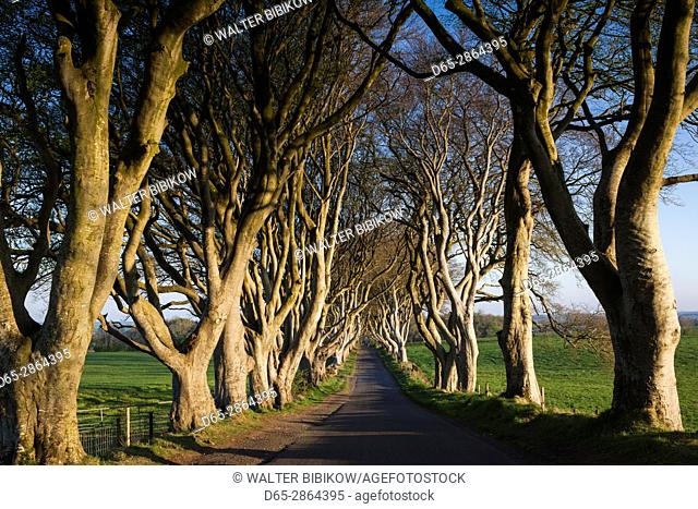 UK, Northern Ireland, County Antrim, Ballymoney, The Dark Hedges, tree lined road, dawn
