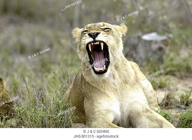 Lion Panthera leo Sabi Sand Game Reserve Kruger Nationalpark South Africa Africa