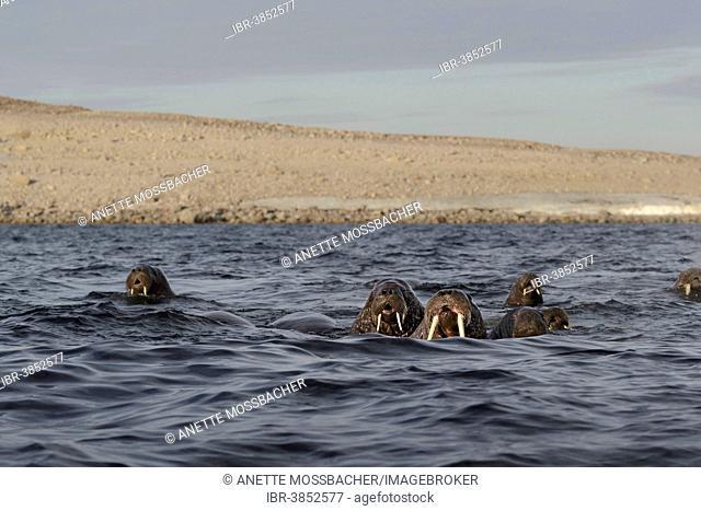 Walruses (Odobenus rosmarus), herd swimming in the Arctic Sea, Spitsbergen, Svalbard Archipelago, Svalbard and Jan Mayen, Norway
