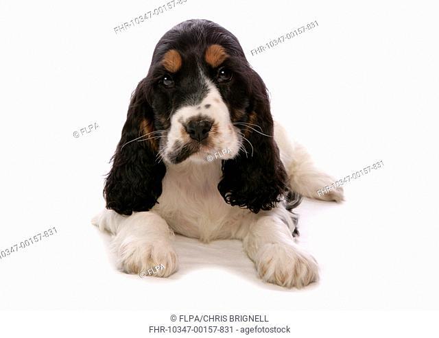Domestic Dog, English Cocker Spaniel, puppy, laying