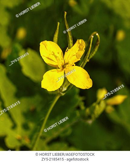 Celandine, Chelidonium majus, Papaveraceae