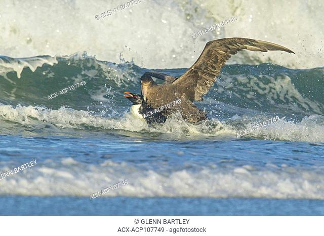 A Giant Petrel attacks a Rockhopper Penguin (Eudyptes chrysocome) as it emerges from the ocean in the Falkland Islands