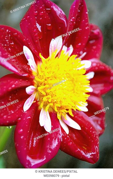 A rain spattered red Collerette Dahlia