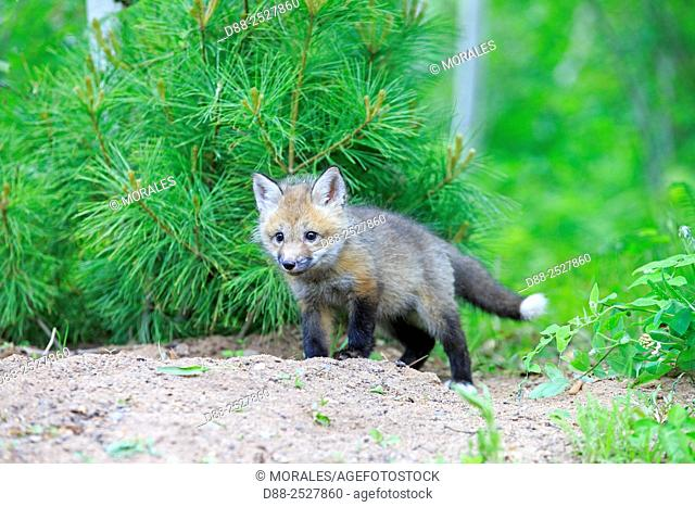 United States, Minnesota, Red Fox Vulpes vulpes, young