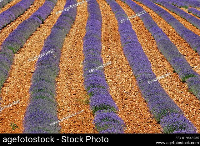 Lavendelfelder bei Sault, Provence
