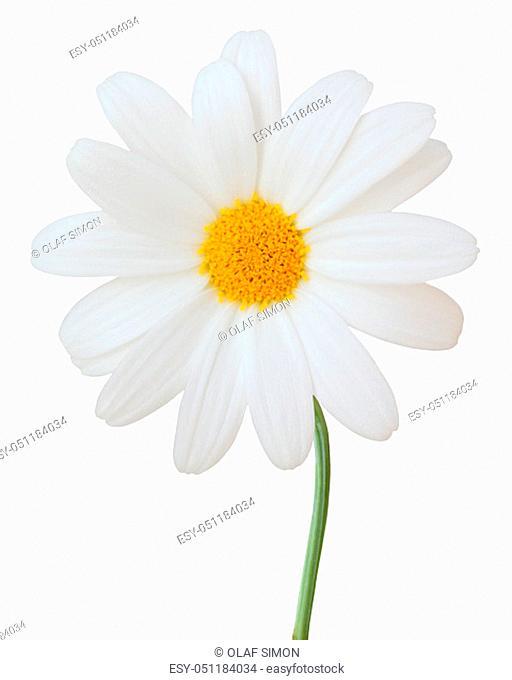 Lovely white Daisy (Marguerite) isolated on white background. Germany
