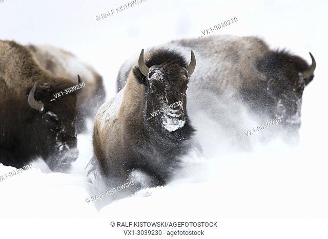 American Bisons ( Bison bison ) in winter, storming, running through fresh deep powder snow, frontal shot, Yellowstone NP, Wyoming, USA