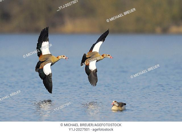 Egyptian geese in flight, Alopochen aegyptiacus; Hesse, Germany, Europe