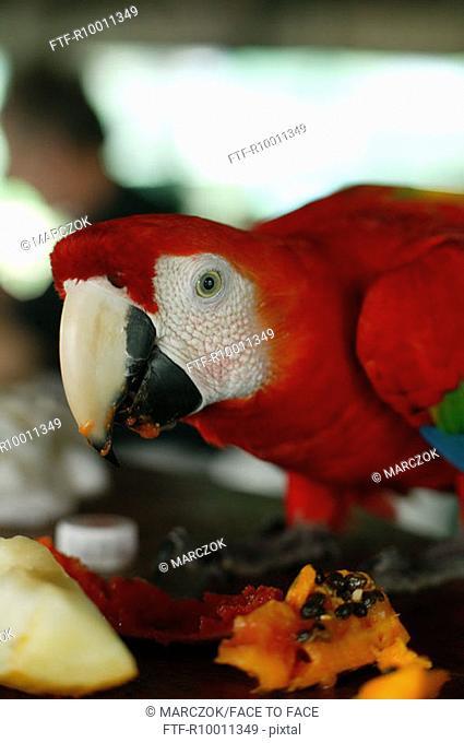 Tame red Ara, Amazonas, Brazil