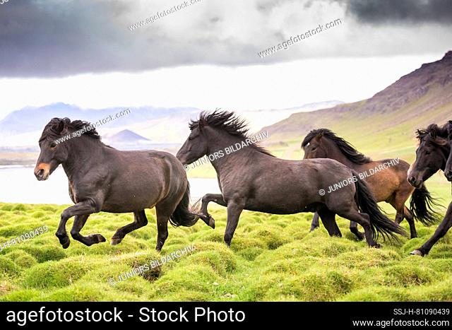 Icelandic Horse. Herd of juvenile stallions galloping in the mountainous landscape of Iceland near the coast