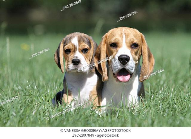 An adult beagle dog and a puppy in a meadow