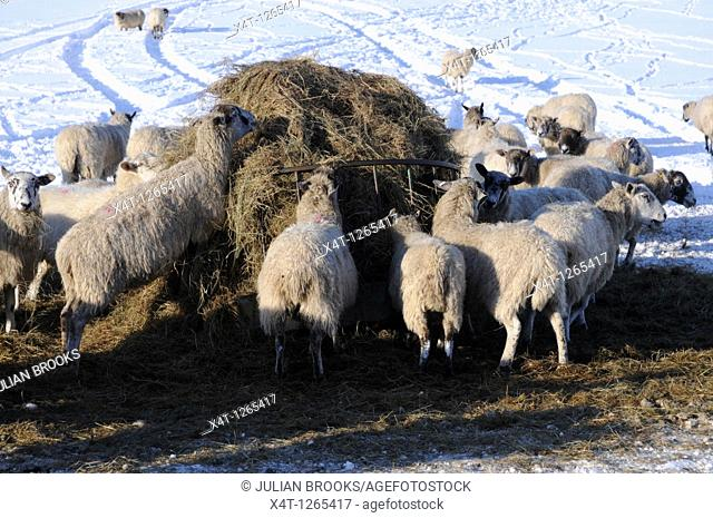 sheep being fed on hay in the winter, unable to access the grass in their field due to deep snow