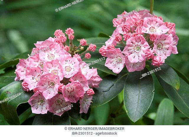 Mountain-laurel or Spoonwood (Kalmia latifolia Olympic Wedding), Haren, Emsland region, Lower Saxony, Germany, Europe