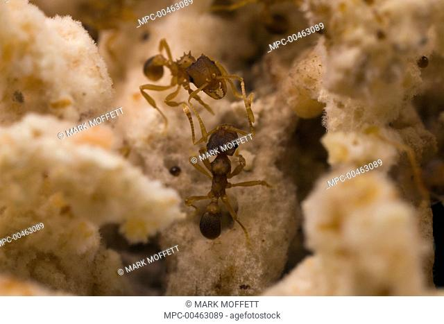Ant (Mycocepurus smithii) females in fungus garden, Texas