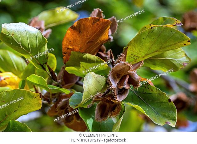 European beech / common beech (Fagus sylvatica) close up of leaves and nuts in open cupules in early autumn