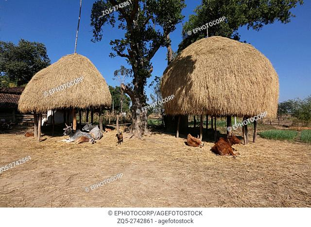 Rice hay stacks, NAGESIA TRIBE, Lamgoan Village, Tahasil Lundra, District Sarguja, Chattisgarh, India