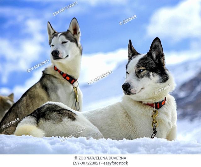 Husky dogs resting