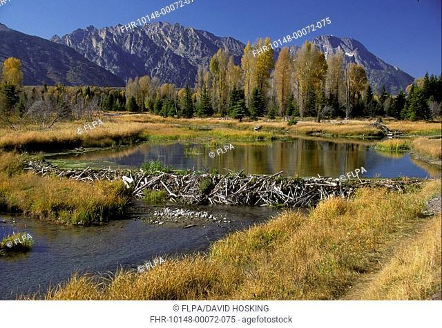 American Beaver Beaver Dam,Snake River, Grand Teton NP , Wyoming, USA HK008284 S