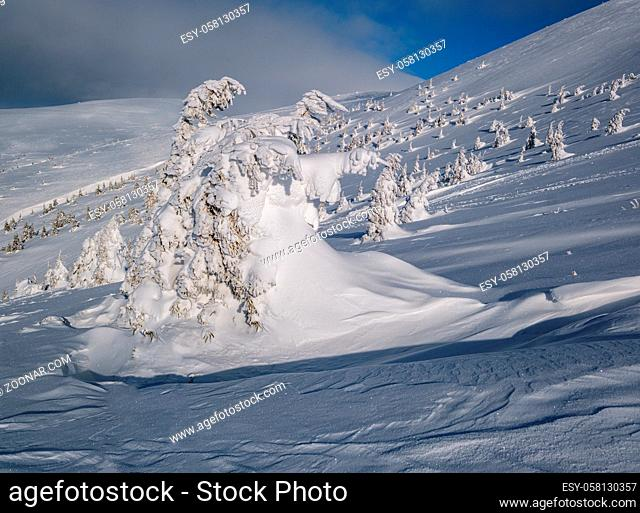 Snow covered fir trees on snowy mountain plateau, tops with snow cornices in far. Magnificent sunny day on picturesque beautiful alps ridge