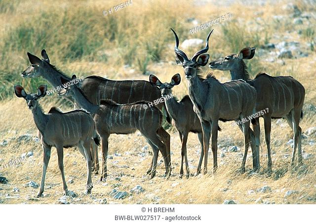 graeter kudu Tragelaphus strepsiceros, family