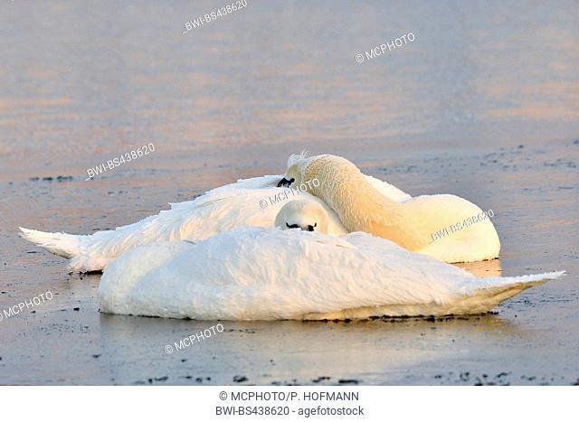 mute swan (Cygnus olor), two sleeping swans on a lake, Germany