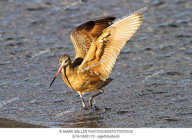 Wings of a Marbled Godwit- shorebird along California coast, USA