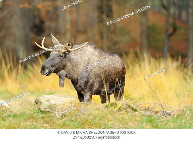Eurasian elk (Alces alces) or moose in autumn in the bavarian forest